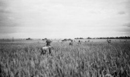 6th RSF advancing through waist high corn during Operation EPSOM
